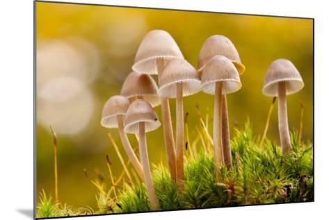 Close-Up of Group of Toadstools (Mycena Sp) Autumn. Leicestershire, UK. November-Ross Hoddinott-Mounted Photographic Print