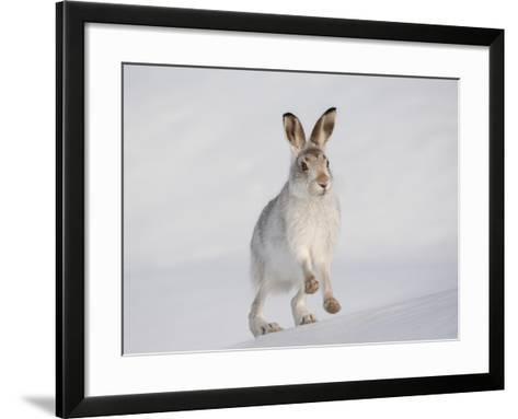 Mountain Hare (Lepus Timidus) Running Up a Snow-Covered Slope, Scotland, UK, February-Mark Hamblin-Framed Art Print