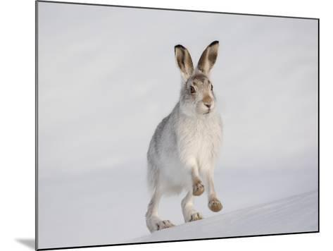 Mountain Hare (Lepus Timidus) Running Up a Snow-Covered Slope, Scotland, UK, February-Mark Hamblin-Mounted Photographic Print