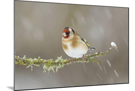 Goldfinch (Carduelis Carduelis) Perched on Branch in Snow, Scotland, UK, December-Mark Hamblin-Mounted Photographic Print