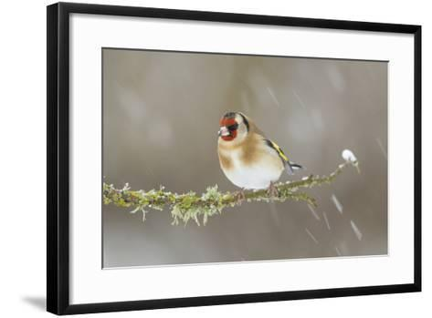 Goldfinch (Carduelis Carduelis) Perched on Branch in Snow, Scotland, UK, December-Mark Hamblin-Framed Art Print