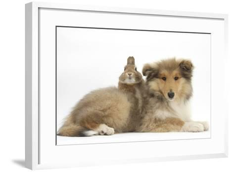 Rough Collie Puppy, 14 Weeks, with Sandy Netherland Dwarf-Cross Rabbit-Mark Taylor-Framed Art Print