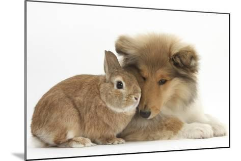 Rough Collie Puppy, 14 Weeks, with Sandy Netherland Dwarf-Cross Rabbit-Mark Taylor-Mounted Photographic Print