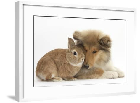 Rough Collie Puppy, 14 Weeks, with Sandy Netherland Dwarf-Cross Rabbit-Mark Taylor-Framed Art Print