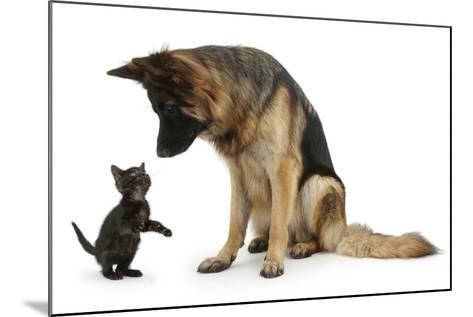 German Shepherd Dog Bitch, Coco, Looking Down on Black Kitten-Mark Taylor-Mounted Photographic Print