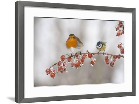 Robin (Erithacus Rubecula) and Blue Tit (Parus Caeruleus) in Winter, Perched on Twig, Scotland, UK-Mark Hamblin-Framed Art Print