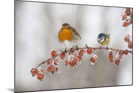 Robin (Erithacus Rubecula) and Blue Tit (Parus Caeruleus) in Winter, Perched on Twig, Scotland, UK-Mark Hamblin-Mounted Photographic Print