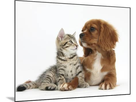 Tabby Kitten, Stanley, 8 Weeks, Relaxing with Ruby Cavalier King Charles Spaniel Bitch-Mark Taylor-Mounted Photographic Print