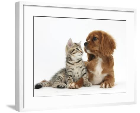 Tabby Kitten, Stanley, 8 Weeks, Relaxing with Ruby Cavalier King Charles Spaniel Bitch-Mark Taylor-Framed Art Print