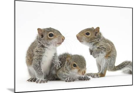 Grey Squirrels (Sciurus Carolinensis) Three Young Hand-Reared Portrait-Mark Taylor-Mounted Photographic Print