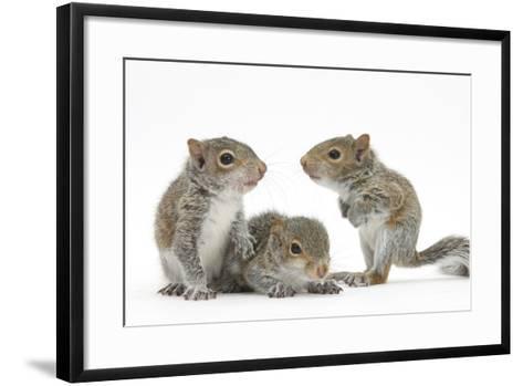 Grey Squirrels (Sciurus Carolinensis) Three Young Hand-Reared Portrait-Mark Taylor-Framed Art Print