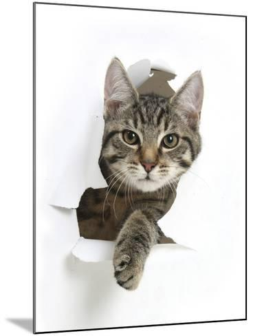 Tabby Kitten, Fosset, 4 Months , Breaking Through Paper-Mark Taylor-Mounted Photographic Print