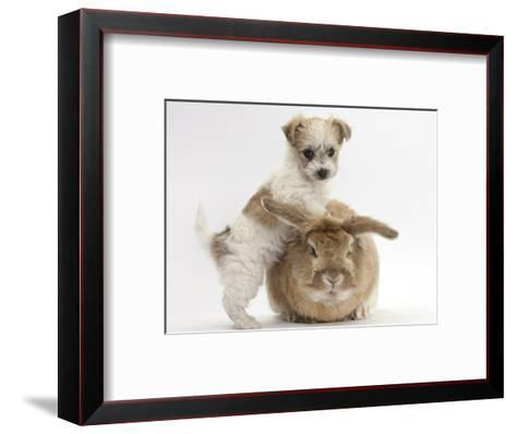 Bichon Frise Cross Yorkshire Terrier Puppy, 6 Weeks, and Sandy Rabbit-Mark Taylor-Framed Art Print