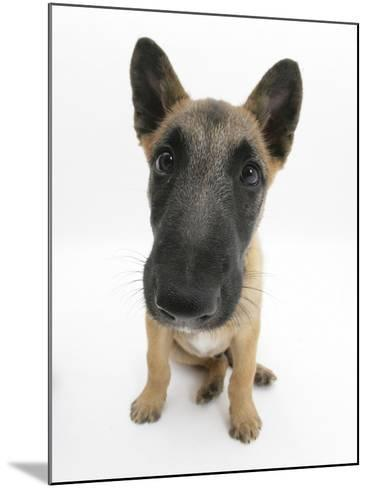 Belgian Shepherd Dog Puppy, Antar, 10 Weeks, Sitting, Looking Up-Mark Taylor-Mounted Photographic Print