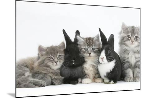 Maine Coon Kittens, 8 Weeks, with Baby Dutch X Lionhead Rabbits-Mark Taylor-Mounted Photographic Print