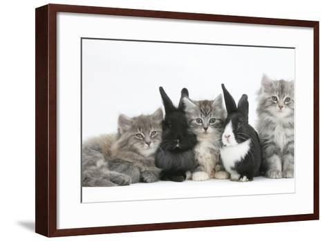 Maine Coon Kittens, 8 Weeks, with Baby Dutch X Lionhead Rabbits-Mark Taylor-Framed Art Print