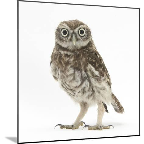Portrait of a Young Little Owl (Athene Noctua)-Mark Taylor-Mounted Photographic Print