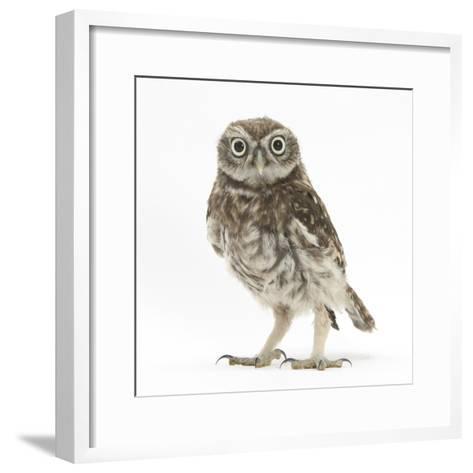 Portrait of a Young Little Owl (Athene Noctua)-Mark Taylor-Framed Art Print