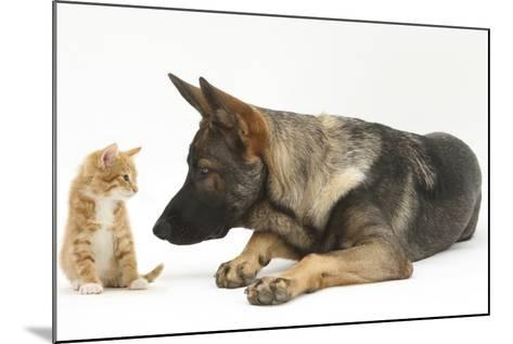 German Shepherd Dog Looking at a Ginger Kitten-Mark Taylor-Mounted Photographic Print