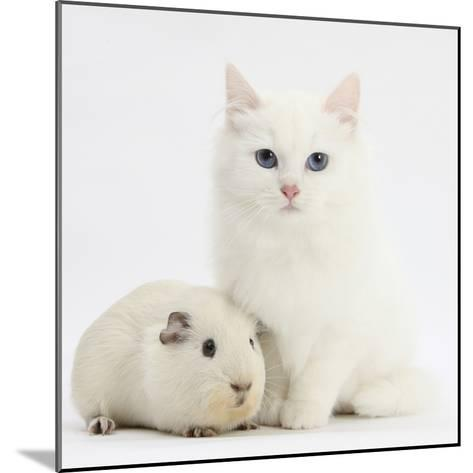 White Main Coon-Cross Kitten with White Guinea Pig-Mark Taylor-Mounted Photographic Print