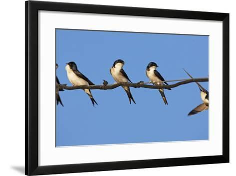 House Martins (Delichon Urbicum) Perched on Wire, with Another in Flight, Extremadura, Spain, April-Varesvuo-Framed Art Print