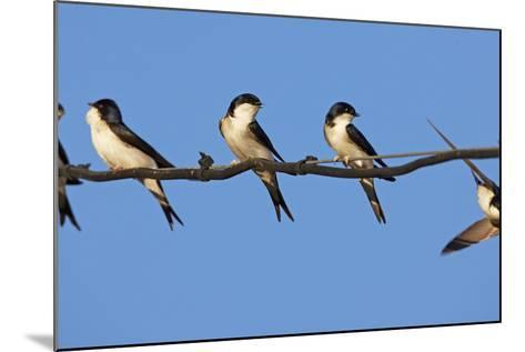 House Martins (Delichon Urbicum) Perched on Wire, with Another in Flight, Extremadura, Spain, April-Varesvuo-Mounted Photographic Print