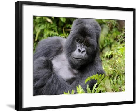 Male Silverback Mountain Gorilla Resting, Volcanoes National Park, Rwanda, Africa-Eric Baccega-Framed Art Print