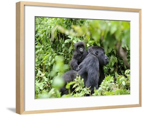 Female Mountain Gorilla Carrying Baby on Her Back, Volcanoes National Park, Rwanda, Africa-Eric Baccega-Framed Art Print