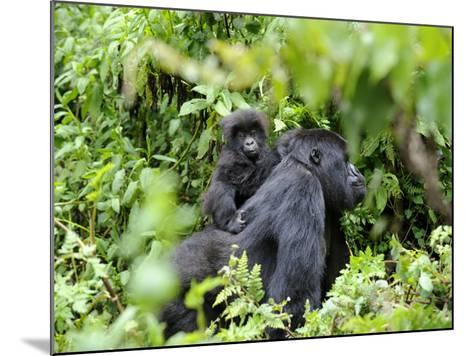 Female Mountain Gorilla Carrying Baby on Her Back, Volcanoes National Park, Rwanda, Africa-Eric Baccega-Mounted Photographic Print