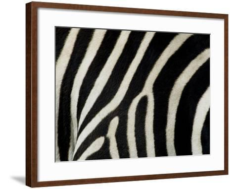 Common Zebra Close-Up Showing Stripes, Tanzania-Edwin Giesbers-Framed Art Print