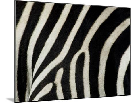 Common Zebra Close-Up Showing Stripes, Tanzania-Edwin Giesbers-Mounted Photographic Print