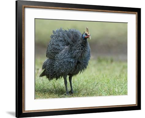 Helmeted Guineafowl Portrait with Feather Fluffed Up, Tanzania-Edwin Giesbers-Framed Art Print