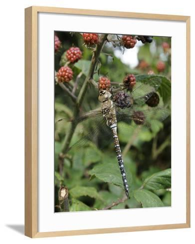 Migrant Hawker Dragonfly Mature Male Resting on Blackberries in Autumn Hedgerow, Norfolk, UK-Gary Smith-Framed Art Print