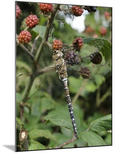 Migrant Hawker Dragonfly Mature Male Resting on Blackberries in Autumn Hedgerow, Norfolk, UK-Gary Smith-Mounted Photographic Print