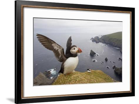 Atlantic Puffin (Fratercula Artica) Adult on Breeding Cliffs. Hermaness Nnr, Shetland, UK, June-Mark Hamblin-Framed Art Print