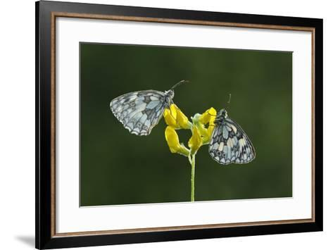 Two Marbled White Butterflies Resting on Meadow Vetchling, Powerstock Common Dwt Reserve, UK-Guy Edwardes-Framed Art Print