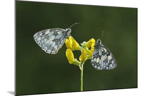 Two Marbled White Butterflies Resting on Meadow Vetchling, Powerstock Common Dwt Reserve, UK-Guy Edwardes-Mounted Photographic Print