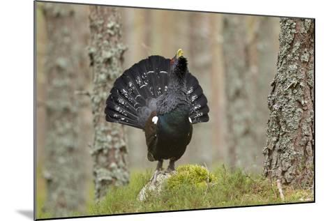 Capercaillie (Tetrao Urogallus) Adult Male Displaying. Cairngorms Np, Scotland, February-Mark Hamblin-Mounted Photographic Print