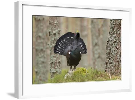 Capercaillie (Tetrao Urogallus) Adult Male Displaying. Cairngorms Np, Scotland, February-Mark Hamblin-Framed Art Print