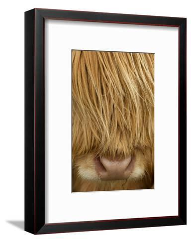 Close-Up of Highland Cow (Bos Taurus) Showing Thick Insulating Hair, Isle of Lewis, Scotland, UK-Peter Cairns-Framed Art Print