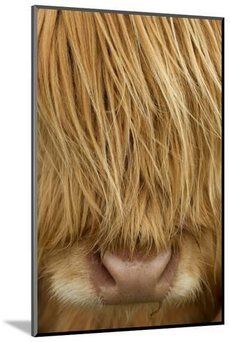Close-Up of Highland Cow (Bos Taurus) Showing Thick Insulating Hair, Isle of Lewis, Scotland, UK-Peter Cairns-Mounted Photographic Print