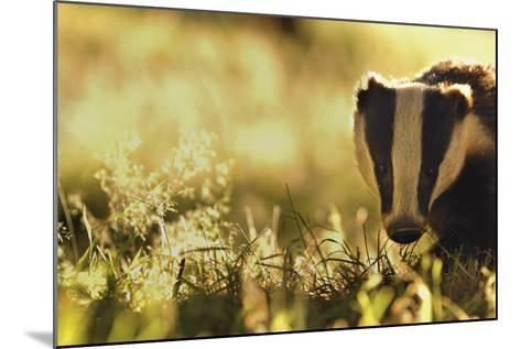 Badger (Meles Meles) Sub-Adult Backlit in Evening Light, Derbyshire, UK-Andrew Parkinson-Mounted Photographic Print