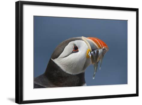 Puffin (Fratercula Arctica) with Sand Eels in Beak, Farne Islands, Northumberland, June-Rob Jordan-Framed Art Print