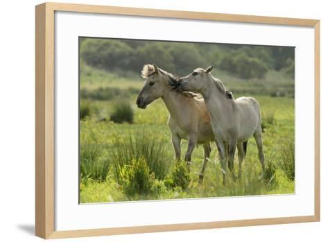 Konik Horses Mutual Grooming, Wild Herd in Rewilding Project, Wicken Fen, Cambridgeshire, UK, June-Terry Whittaker-Framed Art Print
