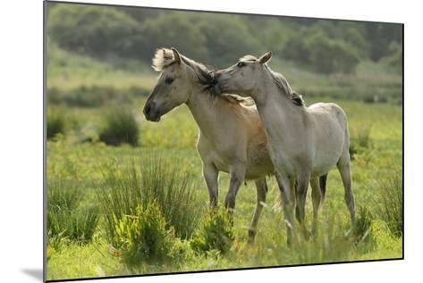Konik Horses Mutual Grooming, Wild Herd in Rewilding Project, Wicken Fen, Cambridgeshire, UK, June-Terry Whittaker-Mounted Photographic Print