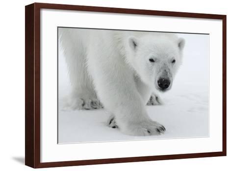 Polar Bear (Ursus Maritimus) Portrait, Svalbard, Norway, July 2008-de la-Framed Art Print