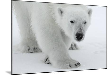 Polar Bear (Ursus Maritimus) Portrait, Svalbard, Norway, July 2008-de la-Mounted Photographic Print