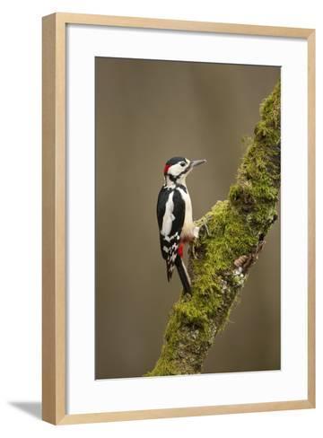 Great Spotted Woodpecker (Dendrocopos Major). Scotland, UK, February-Mark Hamblin-Framed Art Print