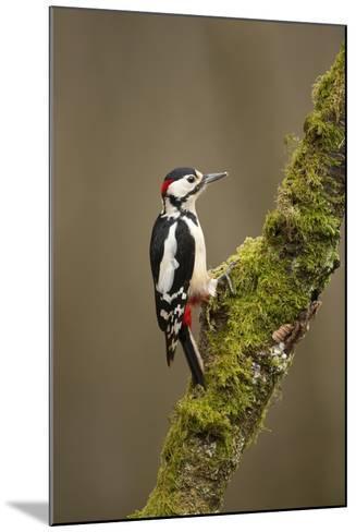 Great Spotted Woodpecker (Dendrocopos Major). Scotland, UK, February-Mark Hamblin-Mounted Photographic Print