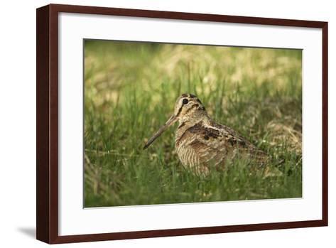 Woodcock (Scolopax Rusticola) Adult in Spring, Scotland, UK, April-Mark Hamblin-Framed Art Print